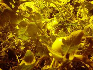 Close Up of Tomato plants under grow light