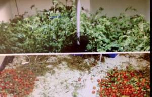 Case Study - LightRail Tomato Project - Yield Comparison