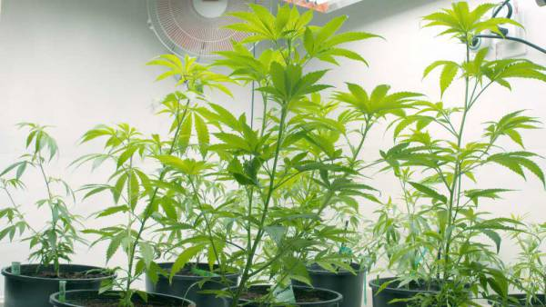 Marijuana grow equipment with LightRail light movers in the grow light setup